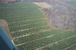 An arial shot of evergreen tree fields.   Wholesale coniferous evergreen landscaping tree grown in Michigan.