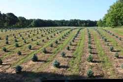 Baby Blue Colorado Spruce, Wholesale coniferous evergreen landscaping tree grown in Michigan.