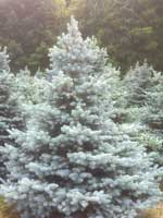Excellent strain of Colorado Blue Spruce.  Every Tree is very blue with needles arranged in a full round pattern.